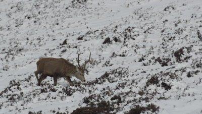 Male deer walking on snowy moutain