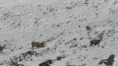 Several deer walking along snowy mountain path
