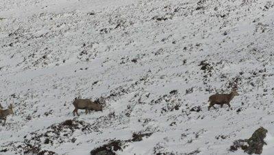 Several deer walking along snowy mountain path
