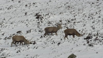 Several deer graze along snowy mountain path; one walks out of frame