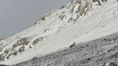 Deer running up a snow coverd rocky mountain