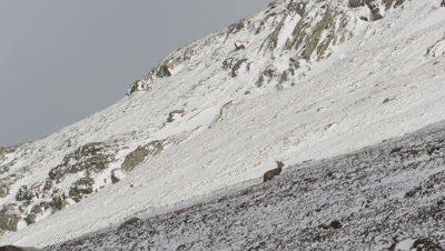 Deer running up a snow coverd rocky mountain