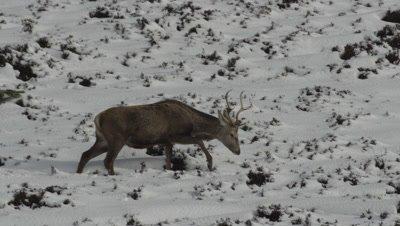 Deer walking across snowy hillside