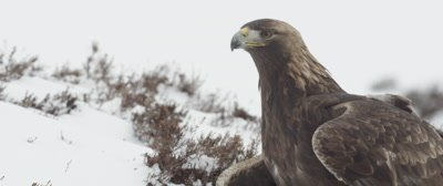 Golden Eagle standing in the snow