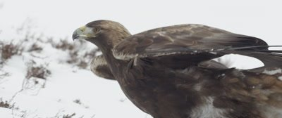 Golden Eagle walks across the snow covered tundra