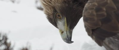Golden Eagle stands in the snow, gazes off into the distance