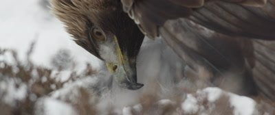 Golden Eagle feeds on a dead hare