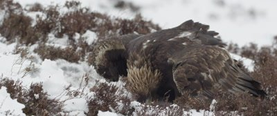 Golden Eagle feeds on a dead hare; rips muscle tissue