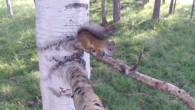 Red Squirrel climbing on a birch tree; chews on tree branch