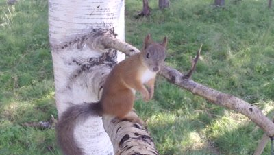 Red Squirrel climbing on a birch tree