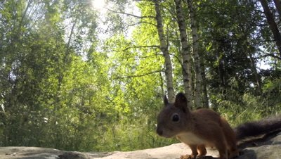 Red Squirrel foraging on the forest floor; climbs a birch tree