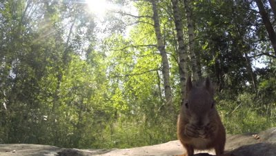 Red Squirrel foraging on the forest floor