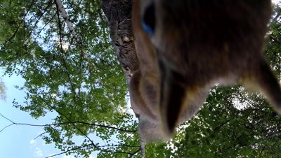 Red Squirrel climbs on a birch tree, stops to inspect camera
