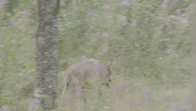 Wolves traveling through the forest