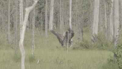 White-tailed Eagle on forest floor flaps wings