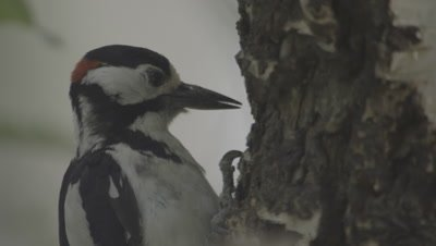 White-backed woodpecker perched on a tree trunk pecks at the bark