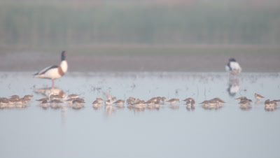 Common Shelduck & other wetland bird species foraging in the shallows of the delta
