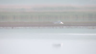 Pied Avocet lands in a river, bathes, and takes flight again