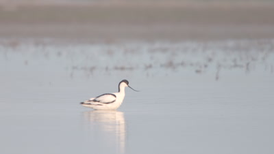 Pied Avocet feeds as it wades through the river shallows; other birds feed in the background