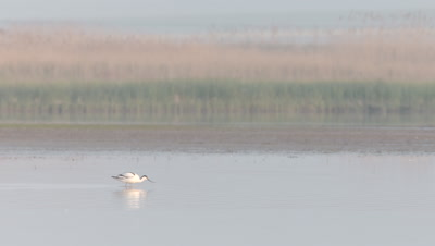Pied Avocet feeds as it wades through the river shallows