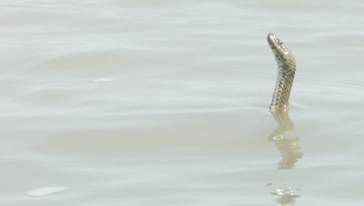 Dice Snake tastes the air as it swims in a delta river