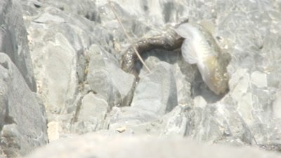 Dice Snake attempts to swallow captured fish