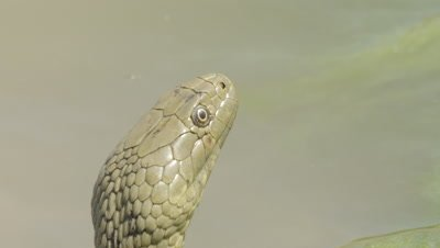 Dice Snake tastes the air as it rests amongst algae in the river shallows
