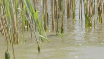 Dice Snake swims through river reeds with a captured fish in it's jaws