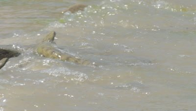 two Dice Snakes rest in the shallows; one snake swims into the delta river