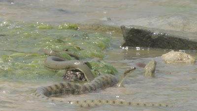 Two Dice Snakes rest in the algae in the shallows as river waves wash over them
