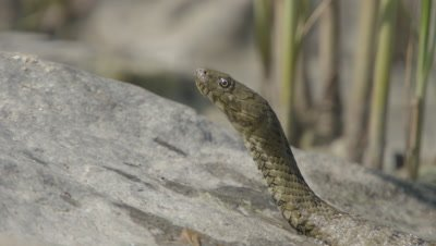 Dice Snake tastes the air, open and closes it's jaw, as it rests on a rock on the river shore