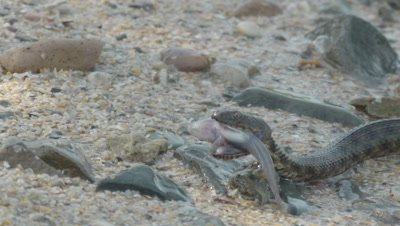 Dice Snake slithers ashore with a captured fish in it's jaws