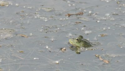 Marsh Frog rests in the shallows