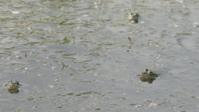 Marsh Frog resting in shallows; some frogs hop in the water and fight each other