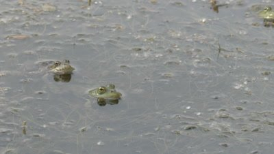 Marsh Frog resting in shallows is startled and quickly swims away