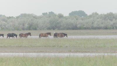 Herd of wild Horses walk through a field alongside a river