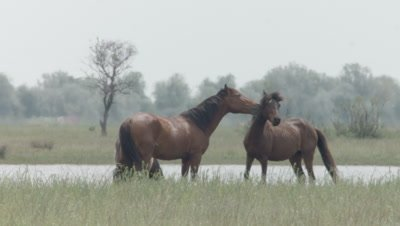 Herd of wild Horses grazing; two Horses begin pushing and biting each other