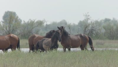 Herd of wild Horses grazing; a few horses accidently startle each other