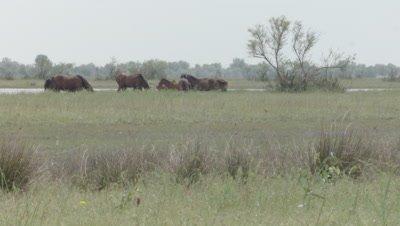 Herd of wild Horses grazing