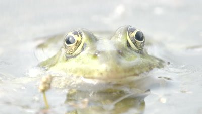 Close up of a Marsh Frog's head as it rests in the shallows