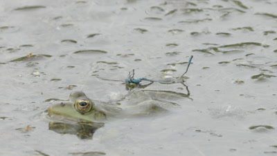 Marsh Frog being baited with a Damselfly