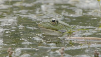 Marsh frog performs mating call