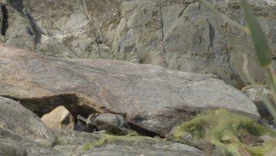 Dice Snake slithering over rocks