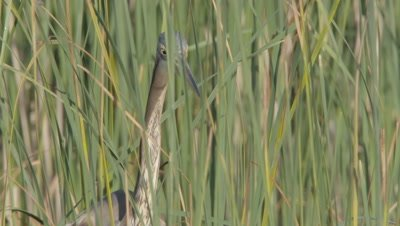 Purple heron hunting in the shallows; partially obscured by reeds