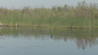 Great Cormorant swimming in the Danube river dives for food