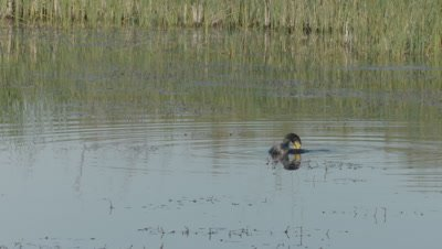 Great Cormorant swimming in the Danube river preens, then dives for food