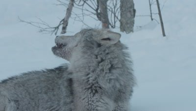 Wolf howling as it rests in the snow after feeding on a carcass