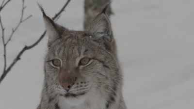 Close up of Eurasian Lynx head and face; Lynx turns to look at camera