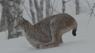 Eurasian Lynx runs through the snow, hunting in a wintry forest