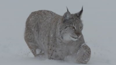 Eurasian Lynx running through the snow towards meat thrown by trainers